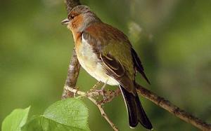 Bofink, hanne © Steve Dahlfors