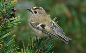 Kungsfågel © Steve Dahlfors